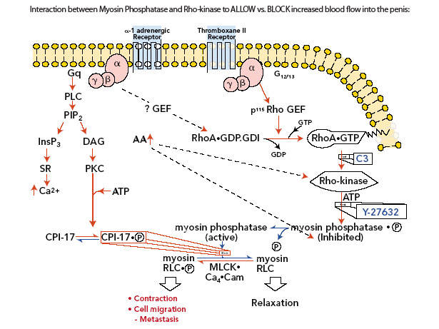 myosin phosphatase and rho kinase